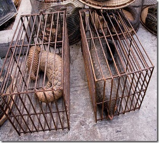 Malaysian officials have seized yet another 46 pangolins from a wildlife smuggler. Image Courtesy to Pangolins.org